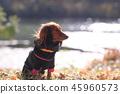 達克斯獵犬Kaninhaen可愛 45960573