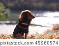 達克斯獵犬Kaninhaen可愛 45960574