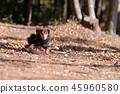達克斯獵犬Kaninhaen可愛 45960580
