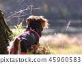 達克斯獵犬Kaninhaen可愛 45960583