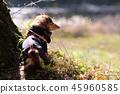達克斯獵犬Kaninhaen可愛 45960585