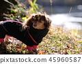 達克斯獵犬Kaninhaen可愛 45960587