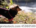 達克斯獵犬Kaninhaen可愛 45960589