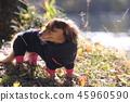 達克斯獵犬Kaninhaen可愛 45960590
