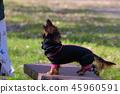 達克斯獵犬Kaninhaen可愛 45960591