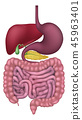intestine,vector,organs 45963401