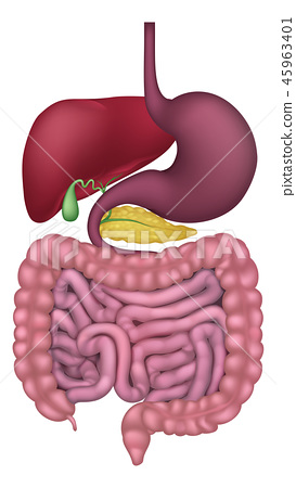 Human Gastrointestinal Digestive System 45963401