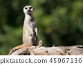 Meerkat, aka suricate, sitting upright on the tree 45967136