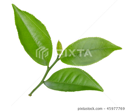 green tea leaf isolated on white background 45977769