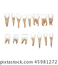 tooth vector molar 45981272