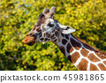 a giraffe in front of some green trees 45981865