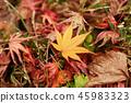 falling, leafe, maple 45983323