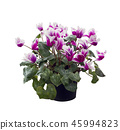 cyclamen flowers on white background 45994823