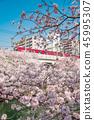 [오오오 강 게이 큐 왕 벚나무] 45995307