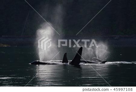범고래 45997108