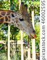 Giraffe portrait in the outdoor park 46002595
