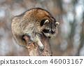 Raccoon on a tree 46003167