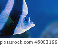 Moorish idol swimming in the aquarium 46003199