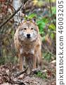 Wolf in autumn forest 46003205