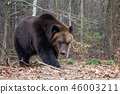 Bear in autumn forest 46003211