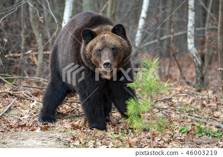 Bear in autumn forest 46003219