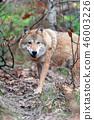 Wolf in autumn forest 46003226