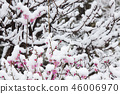 New spring scenery that fell on spring snow and pink plum 46006970