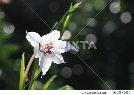 희귀 꽃 아시단세라 46007606