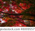 ต้นเมเปิล,ต้นออทัม,ฤดูใบไม้ร่วง 46009557