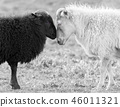 Black and white sheep on pasture 46011321