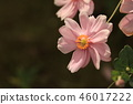japanese anemone, pink, outdoor 46017222