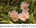 japanese anemone, pink, outdoor 46017224