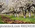 Rows of beautifully blossoming cherry trees 46024038