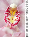 Pink exotic flower orchid with natural pattern. Macro photo as natural background. 46026645