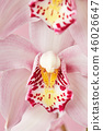 Macro photo of delicate petals of a pink orchid with a natural pattern. Flower background 46026647