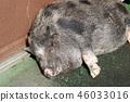 猪 哺乳动物 动物 46033016