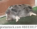 猪 哺乳动物 动物 46033017