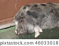 猪 哺乳动物 动物 46033018