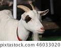 山羊 动物园 雪羊 46033020