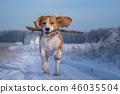 Beagle dog playing with a stick on a walk 46035504