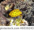Larva of Minami Hako Hugo 46039243