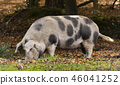 Pig in New Forest 46041252