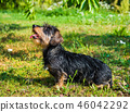 Funny dachshund dog on a walk in the park 46042292