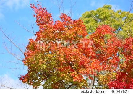 단풍 나무 단풍 46045622
