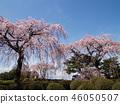 櫻花 櫻 櫻花盛開 46050507