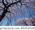櫻花 櫻 櫻花盛開 46050508