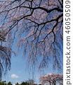 櫻花 櫻 櫻花盛開 46050509