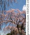 櫻花 櫻 櫻花盛開 46050510