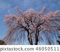 櫻花 櫻 櫻花盛開 46050511