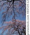 櫻花 櫻 櫻花盛開 46050512